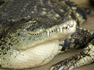 Agro Jevišovice začne na přelomu dubna a května porážet krokodýly nilské.