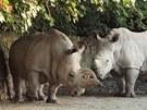 Samice bílého nosorožce severního Nabiré (vlevo) a samec nosorožce bílého