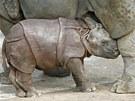 Třítýdenní mládě nosorožce indického se nehne na krok od své matky.