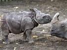 Třítýdenní mládě nosorožce indického se svojí matkou