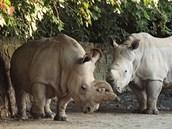 Samice bílého nosorožce severního Nabiré (vlevo) a samec nosorožce bílého...