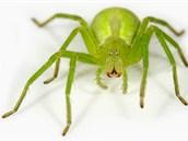 Maloočka smaragdová (Micrommata virescens), příbuzná pavouka dovezeného z