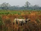 Nosorožec indický, známý také jako pancéřový, postává v mokřadech národního