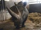 Samice bílého nosorožce Jessica ve dvorské zoo.