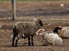 Týrané ovce na farmě v Bělči nad Orlicí na Královéhradecku.