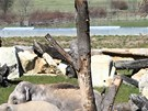 Stádo samic s mláďaty si nový venkovní výběh nejprve celý obešlo.