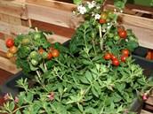 Ve velkoobjemovém zavlažovacím truhlíku už můžete pěstovat rajčata či papriky....