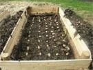 Záhon na pěstování brambor v ořechovém listí Marek vymezil dřevěným bedněním, na půdu pak navrstvil ořechové listí z předchozího podzimu a na něj poskládal sadbové brambory.