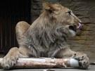 P�i oslav� sv�ch prvn�ch narozenin dostali dva vz�cn� lvi berber�t� v olomouck�