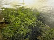 Policist� zabavili ve Skaln� v�ce ne� tis�c rostlin konop�.