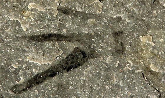 Kooteninchela deppi