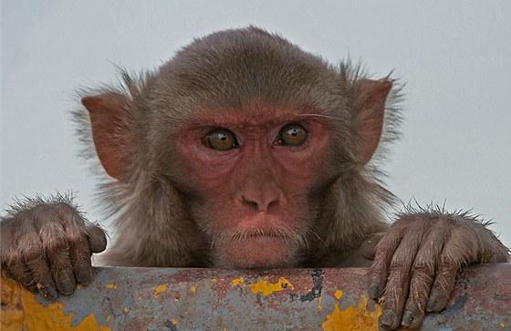 Bronz v žebříčku klonovaných savců získaly v roce 1997 opičky Neti a Ditto