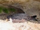 Na hnízdě v Chrámových stěnách v Teplicích nad Metují uhynula samička sokola...