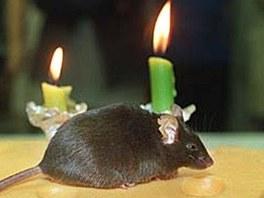 První naklonovaná myš, Cumulina během svých druhých narozenin. Na svět přišla v