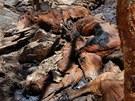 Divocí koně se na severu Austrálie přemnožili a trpí nedostatkem jídla a vody.