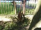 Srnec uvízlý v plotě v areálu bývalé mateřské školky v Opavě na náměstí Svaté
