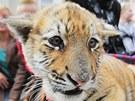 Principál cirkusu Jaromír Joo se v Plzni procházel se dvěma tygry. Na vodítku