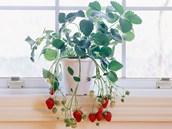 Když na to přijde, dají se vlastní jahody vypěstovat i na okenním parapetu.