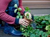 Na balkóně či na okně se dají jahody pěstovat v truhlíku nebo květináči. Jen nesmíte zapomínat na pravidelnou zálivku.