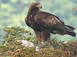 Samec Slávek hlídá mládě v době nepřítomnosti samice.