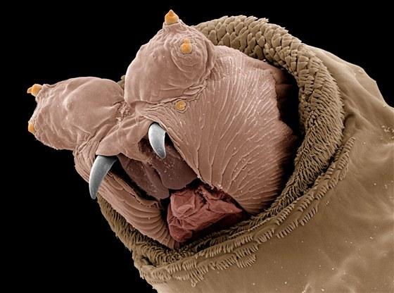 Detail hlavy larvy bzučivky, tedy všem dobře známé a naprosto běžné mouchy.