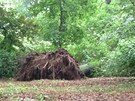 V průhonickém parku se vyvrátil dub. Zabil ženu a psa (3. června 2013)