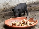 Největší atrakcí v miniaturní zoo v brněnském Tyršově sadu jsou vietnamská