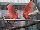 Dočasný domov našli v Liberci například ibisové rudí.