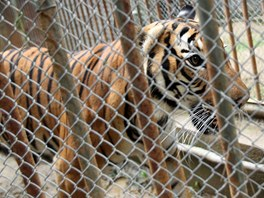 Samice tygra malajského z pražské zoo našla úkryt v zázemí zoo brněnské.