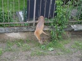Srnec v Olomouci uvázl ve hřbitovním plotě, vyprostit ho museli hasiči.
