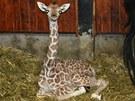Žirafí mládě v brněnské zoo