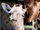 Žirafí mládě v brněnské zoo už je na tom lépe. Pořád ale nemá úplně vyhráno.