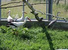 Uzdravený čáp společně s dalšími v ptačí voliéře.