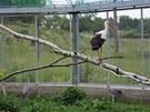 Hojící se zraněné křídlo již pustilo čápa alespoň na bydlo v ptačí voliéře
