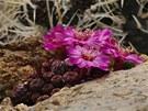 Vysokohorský kaktus Sulcorebutia rauschii, dovoz z Bolívie.