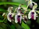 Orchidej Vanda cristata, importována z Indie.