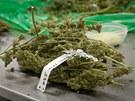Marihuana, Bedrocan, farma, konopí, léčba