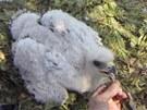 Pětitýdenní Anežka, první mládě orla skalního v tuzemsku po více než sto