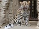 V olomoucké zoo na Svatém Kopečku dospívá levhartí slečna Mia, na začátku