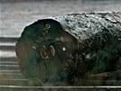 Aktivisté Greenpeace odhalili údajné nelegálně vytěžené dřevo chráněného stromu