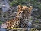 V olomoucké zoo otevřeli nový pavilon pro levharty mandžuské.
