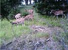 Mufloni na Javořích horách v Chráněné krajinné oblasti Broumovsko.