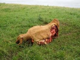 Po krávě, kterou přímo na poli v Klokočově rozčtvrtil neznámý zloděj, zůstaly