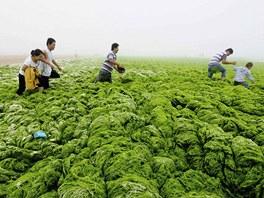 Lidé se snaží přejít řasy naplavené na pobřeží u města Čching-tao v provincii