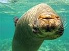 Hlavou dolů (lachtan kalifornský, Galapágy, Ekvádor). Šnorchlování s lachtany