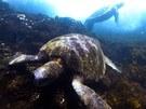 Mořské želvy. Jako na jiné planetě si občas připadáte pod vodou na Galapágách.