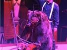 Medvěd na motorce v manéži je jedním z vrcholů představení Národního cirkusu