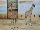 Samička Amálie (vpravo) se mámě Elišce narodila 7. července, syn samice Nory se...