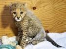 Mládě geparda po operaci