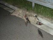 Divočák uhynul po střetu s dodávkou na polské dálnici A1. (18.7.2013)